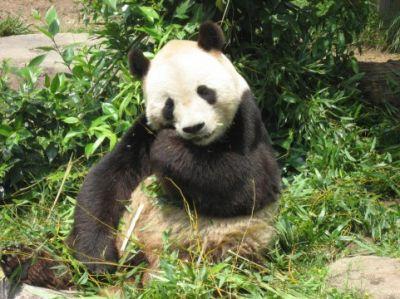 パンダの画像 p1_36